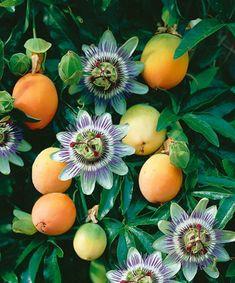 Mučenka 'Frederick' Passion Flower, Shrubs, Planting Flowers, Vines, Vegetables, Garden, Plants, Paintings, Garten