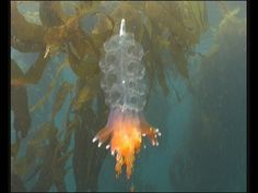 Siphonophores (colonial jellyfish) - YouTube