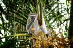 vervet monkey in a palm tree