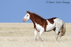 Barbara and Marty Wheeler are nature photographers with a strong emphasis on wild horses. Most Beautiful Horses, All The Pretty Horses, Animals Beautiful, Types Of Horses, Appaloosa Horses, Wild Mustangs, Horse World, White Horses, Horse Farms