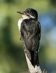 Image via meteo.psu.edu Blackbacked woodpecker