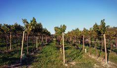 Vineyards of Moretti degli Adimari in the Tinella subzone