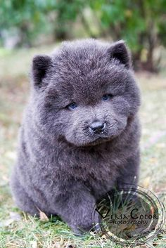 Stunning Blue Chow Chow puppy My goodness, that truly is the face of perfection - hunde - Puppies Puppies And Kitties, Cute Puppies, Pet Dogs, Dog Cat, Doggies, Labrador Dogs, Cute Baby Animals, Animals And Pets, Funny Animals