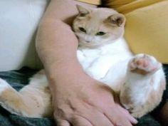 お父さんと僕のお腹は、おんなじさ  My stomach and my dad, s the same #ねこ #cat