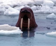 Save The Arctic petition. Help make the Arctic a global sanctuary. Polo Norte, Save The Arctic, Alaska The Last Frontier, I Am The Walrus, Ocean Life, Animal Kingdom, Mammals, Wildlife, Creatures