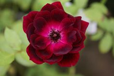 Burgundy Iceberg - Ludwigs Roses | Exactly like 'Iceberg' in growth habit & flowering ability. Clusters of burgundy-red blooms with a silver reverse. It has become a favourite in South Africa & is the ideal choice for contrasting with 'Iceberg'.