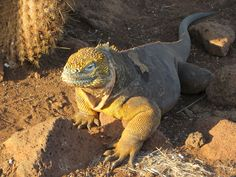 Land iguana on Seymour Island, Galapagos (Kristin Rounds, 2014)