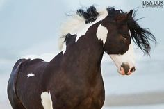 Equine American Paint Horse western quarter paint horse paint pinto horse Gypsy Vanner Indian pony solid tovero overo frame sabino by katy Most Beautiful Animals, Beautiful Horses, Mustangs, Horse Markings, American Paint Horse, Painted Pony, Quarter Horses, All The Pretty Horses, Horse Pictures