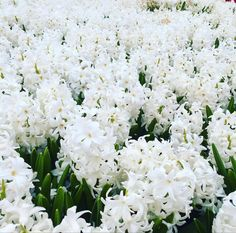 Dark Plum Flowers, Peach Flowers, All Flowers, White Flowers, White Hyacinth, Hyacinth Flowers, White Tulips, Purple Calla Lilies, Asiatic Lilies
