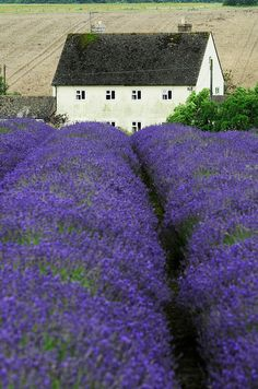 Cotswold Lavender Farm, photography by Darrell Godliman