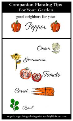 Companion Planting Tips for Peppers - A Healthy Life For Me