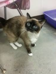 Leanne is an adoptable Snowshoe Cat in Salisbury, NC. Leanne is a 7-8 year old Snowshoe cat that we would love to be adopted with her sister, Lacey.  They came to the sanctuary together as owner surre...