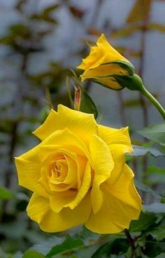 Terrific Photographs yellow rose garden Popular Increased attention is less complicated compared to people think—you can grow these successfully. Seed ones ro. Beautiful Rose Flowers, Pretty Roses, Exotic Flowers, Amazing Flowers, Beautiful Flowers, Rose Reference, Rosa Rose, Rose Pictures, Flower Images