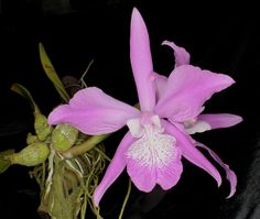 Laelia speciosa - Flickr - Photo Sharing!