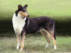 Smooth Collie dog | Life span 10-12 years