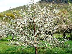 Pictures of Flowering Trees: Apple Trees in Spring