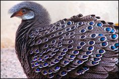 I think a grey peacock pheasant or two would be lovely in the garden.