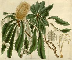 Banksia integrifolia illustration - circa 1827