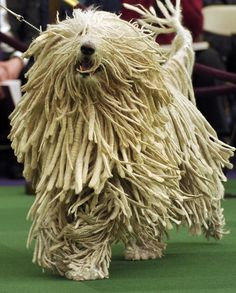 Wire Fox Terrier won Westminster Kennel Club Dog Show 2014 Mop Dog, Dog Cat, Hungarian Dog, Puli Dog, Westminster Dog Show, Komondor, What Kind Of Dog, Wire Fox Terrier, Purebred Dogs