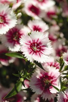 DIANTHUS chin IDEAL SELECT WHITE FIRE