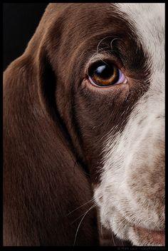 German shorthaird pointer pup