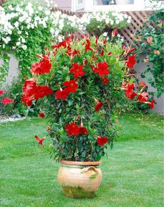 Sun Parasol Pretty Crimson mandevilla blooms ferociously with 2 to 3 inch true-red flowers along thin, small,yet sturdy, glossy green leaves.