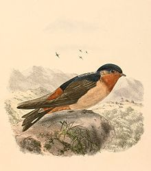 The Red-throated Cliff Swallow (Petrochelidon rufigula), also known as the Red-throated Swallow