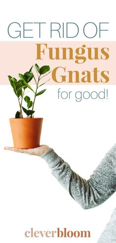 Fungus gnats are single handedly the most annoying house plant pest! As soon as you see one, hundreds will follow, if you don't take action! Learn the best way to get rid of fungus gnats...fast