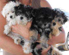 #morkie puppies!