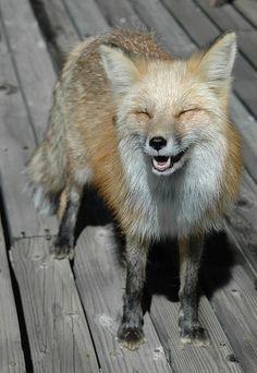 happy fox is happy.