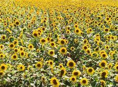 Toscaanse zonnebloemvelden