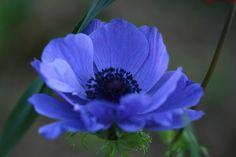 Anemone(アネモネ)  花言葉 はかない恋 恋の苦しみ 薄れゆく希望 清純無垢 無邪気 辛抱 待望 期待 可能性  (赤)「君を愛す」  (白)「真実」「真心」  (紫)「あなたを信じて待つ」