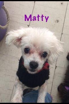 Maltese Adult Ma Maltese Adult Male Small Oklahoma Westie Rescue