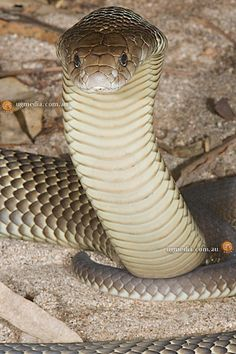Mulga snake also known as Common King Brown Snake ~ one of the world's most venomous snakes.