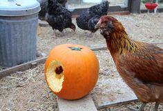 Chicken Blog