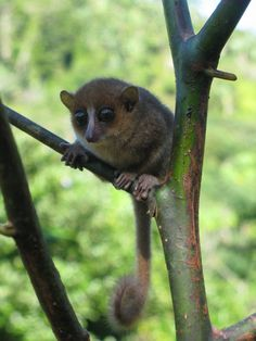 This little primate, about the size of a hamster, was found hiding among a dozen other lemur species in the rainforests of Madagascar. Credit: Blanchard Randrianambinina