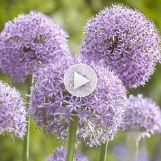 Alliums are a very underused garden bulb! Watch more about the plant here: http://www.bhg.com/videos/m/85136190/alliums-for-your-garden.htm?socsrc=bhgpin080614alliumsforyourgarden