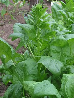 Spinach - one of the 10 easiest vegetables to grow.....didn't know this