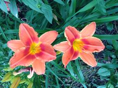Can you tell I love day lilies??!!