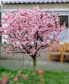 I have 2 of this gorgeous Prunus trees in my garden. But they are still very small, so it will take a few years to get this big :) Love Garden, Summer Garden, Dream Garden, Trees And Shrubs, Trees To Plant, Beautiful Gardens, Beautiful Flowers, Garden Trees, Garden Plants