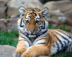 Tigers-animals-20238015-2493-1983.jpg (2493×1983)