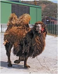 Celui qui a de vieux CHAMEAUX dans CHAMEAU - DROMADAIRE chameau-vieuxLe nom de Zoroastre un « prophète », fondateur du zoroastrisme, ancienne religion de la Perse. Il est difficile, étant donné l'époque et l'importance du personnage, sources de nombreuses affabulations, de donner des dates et des lieux précis à son sujet. On suppose qu'il est né au nord de l'Iran, mais certaines traditions le font naître à Balkh