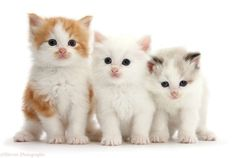 If you want to buy a kitten, it entails selecting a companion for the next decade or more. So pay close attention because this is a significant commitment! #BuyKitten #BestKitten #KittenNearMe White Kittens For Sale, Kitten For Sale, White Cats, Kittens Cutest Baby, Cute Cats And Kittens, Adorable Kittens, Buy A Kitten, Buy A Cat, Cat Ballou