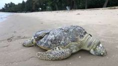 'Sliced' sea turtle found dead on Singapore beach