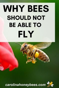 For years researchers said that honey bees should not be able to fly.  The bees did not know this...so they flew anyway.  #carolinahoneybees #flyingbees #canhoneybeesfly