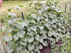 Cantaloupe On A Trellis: How To Grow Cantaloupes Vertically Trellised cantaloupes utilize a much smaller portion of the garden, allowing even those with limited space to grow their own. Intrigued? Click on the following article to find out how to grow cantaloupes vertically and other information.