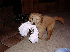 How to Train a Golden Retriever Puppy (Wiki How - http://www.wikihow.com/Train-a-Golden-Retriever-Puppy)