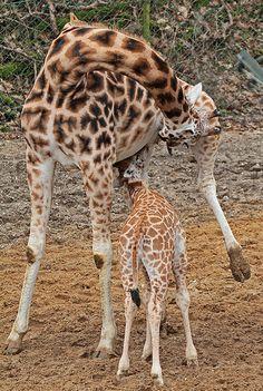 Rothschild's giraffes (Giraffa camelopardalis rothschildi)