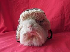 Guinea+pigs+in+hats | guinea pigs in hats