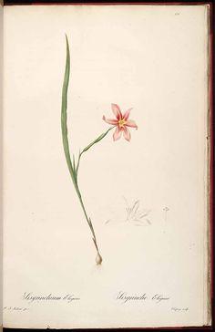 Moraea collina Thunb. [as Sisyrinchium elegans DC.] Redouté, P.J., Les Liliacées, vol. 3: t. 171 (1805-1816) [P.J. Redouté]